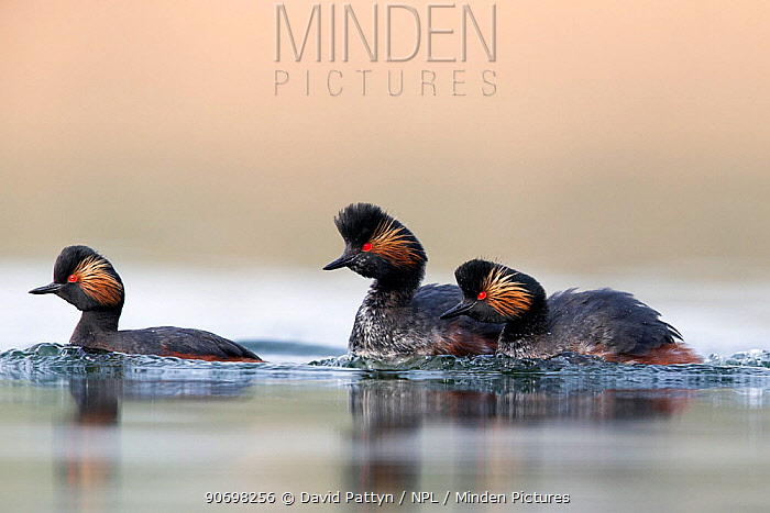 Black necked grebe (Podiceps nigricollis) pair chasing away another grebe during the mating season The NetherlandsMarch 2014  -  David Pattyn/ npl