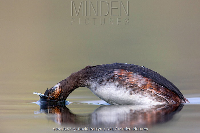 Black necked grebe (Podiceps nigricollis) adult bird diving for food while foraging The NetherlandsMarch 2014  -  David Pattyn/ npl