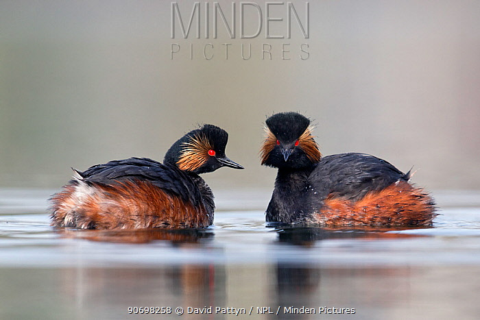 Black necked grebe (Podiceps nigricollis) pair mimicking each others movements in their courtship rituals The NetherlandsMarch 2014  -  David Pattyn/ npl