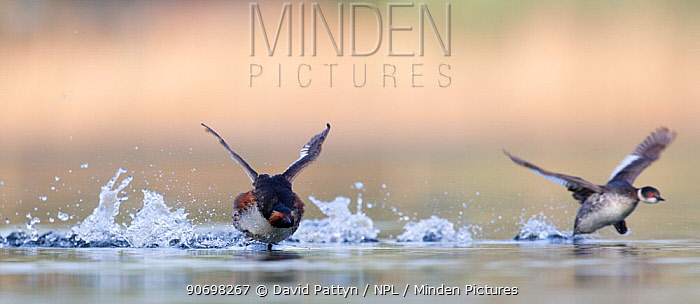 Black necked grebe (Podiceps nigricollis) pair running over the water surface together as a part of their courtship ritual This early in the breeding season, one of the birds is still in its winter plumage The NetherlandsApril 2014  -  David Pattyn/ npl