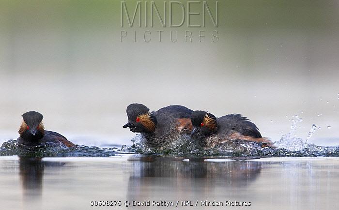 Black necked grebe (Podiceps nigricollis) pair chasing away another grebe during the courtship season The NetherlandsApril 2014  -  David Pattyn/ npl