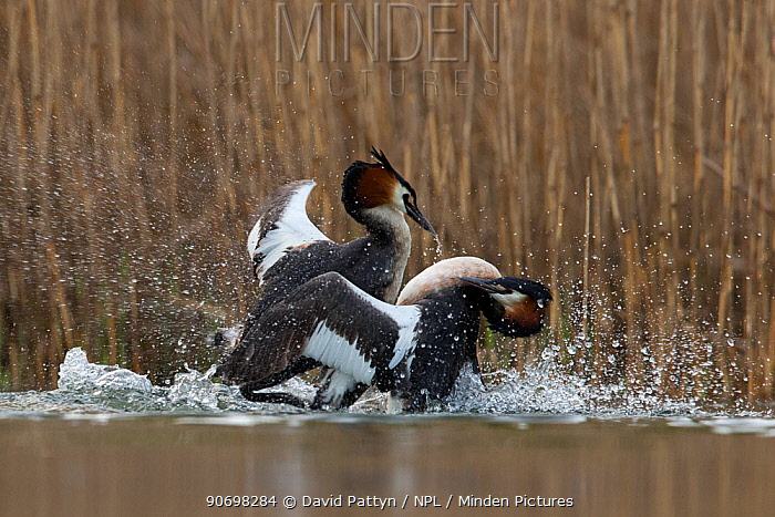 Great crested grebe (Podiceps cristatus) adults fighting in a territorial dispute in the mating season The Netherlandsapril 2014  -  David Pattyn/ npl