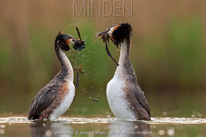 Great crested grebe (Podiceps cristatus) pair performing their weed dance during the courting or mating season The birds offer each other plant material as a present to confirm their bond The Netherlands May 2014  -  David Pattyn/ npl