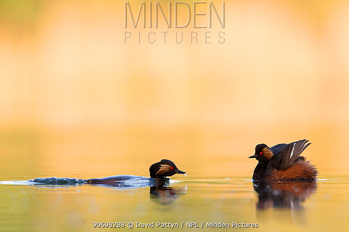 Black necked grebe (Podiceps nigricollis) pair courting One bird is waiting with the wings spread while the other one is submerged and approaching The NetherlandsMay 2014  -  David Pattyn/ npl