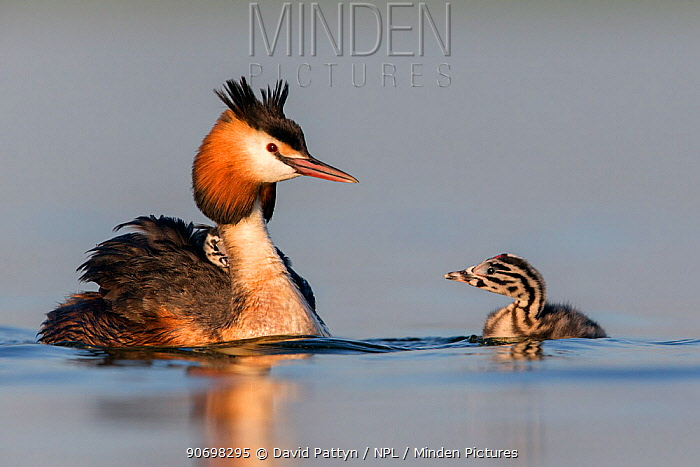 Great crested grebe (Podiceps cristatus) adult with a young chick on the back and another chick in the water The NetherlandsJune 2014  -  David Pattyn/ npl