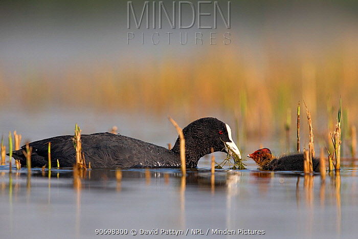 Coot (Fulica Atra) female feeding its chick in between vegetation The Netherlands June 2014  -  David Pattyn/ npl