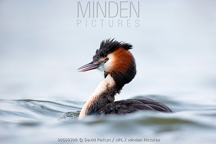 Great crested grebe (Podiceps cristatus) with discarded fishing net around the neck The Netherlands April  -  David Pattyn/ npl