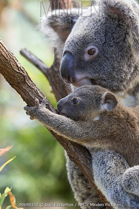 Koala (Phascolarctos cinereus) Mother and joey aged seven months, Queensland, Australia, captive  -  Suzi Eszterhas/ npl