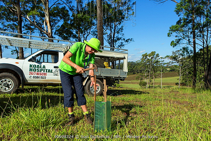 Volunteer, planting koala food trees as part of habitat restoration program, Port Macquerie, Australia  -  Suzi Eszterhas/ npl
