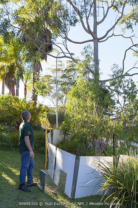 Trap set under tree by Koala Hospital rescue team, Port Macquerie, Australia  -  Suzi Eszterhas/ npl