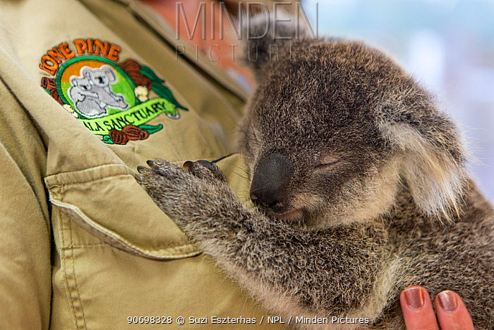 Koala (Phascolarctos cinereus) orphaned joey, aged ten months, Lone Pine Koala Sanctuary, Australia, captive  -  Suzi Eszterhas/ npl