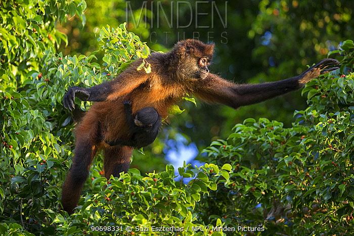 Black-handed spider monkey (Ateles geoffroyi) mother and baby, Osa Peninsula, Costa Rica  -  Suzi Eszterhas/ npl