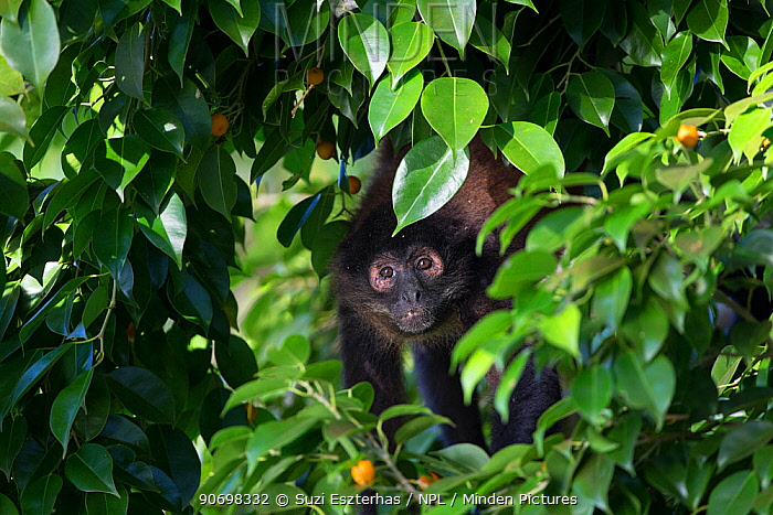 Black-handed spider monkey (Ateles geoffroyi), Osa Peninsula, Costa Rica  -  Suzi Eszterhas/ npl