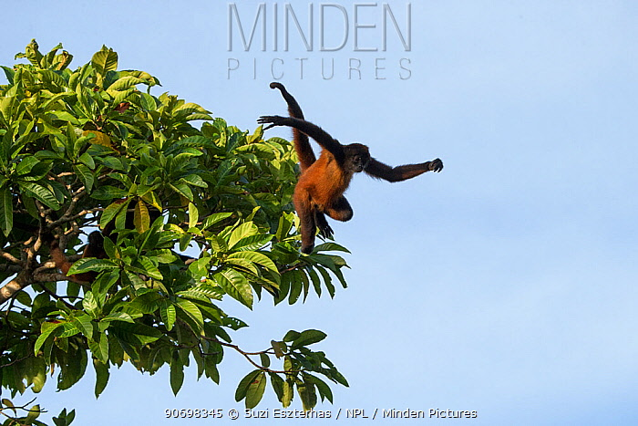 Black-handed spider monkey (Ateles geoffroyi) leaping from tree, Osa Peninsula, Costa Rica  -  Suzi Eszterhas/ npl