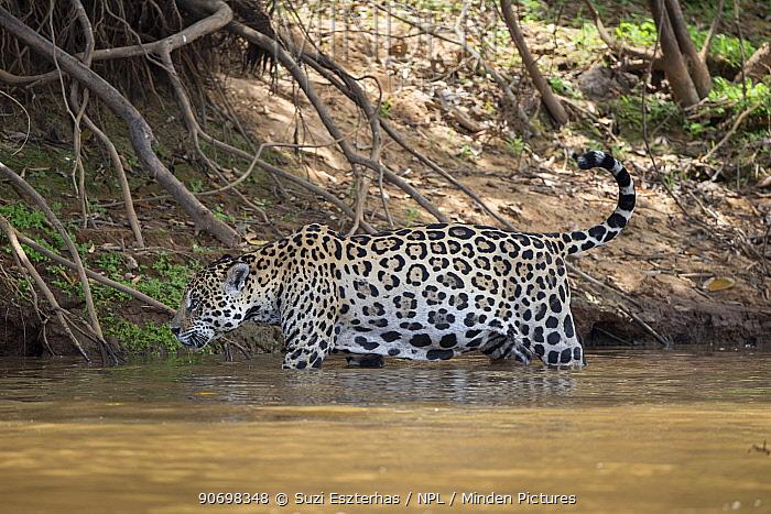 Jaguar (Panthera onca) walking in river, Cuiaba River, Brazil  -  Suzi Eszterhas/ npl