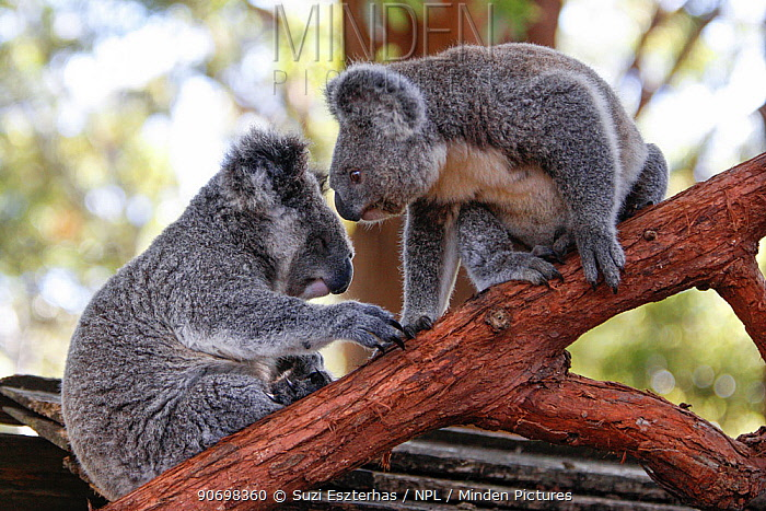 Koala (Phascolarctos cinereus) juveniles orphaned as babies and now awaiting release, sitting on branch, Koala Hospital, Port Macquerie, Australia, captive  -  Suzi Eszterhas/ npl