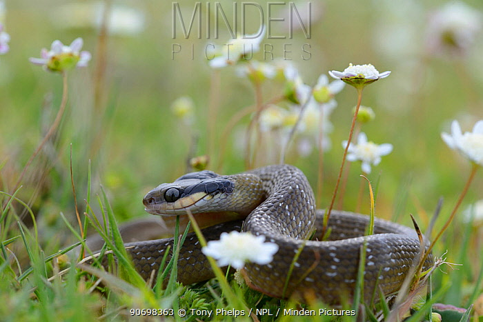 Juvenile Herald snake (Crotopheltis hotamboia) lying amongst Button daisies, DeHoop Nature Reserve, Western Cape, South Africa, August  -  Tony Phelps/ npl