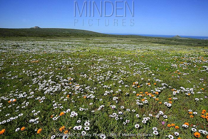 Landscape of Cape rain daisies (Dimorphotheca pluvialis) Postberg, West Coast, Western Cape, South Africa, August  -  Tony Phelps/ npl