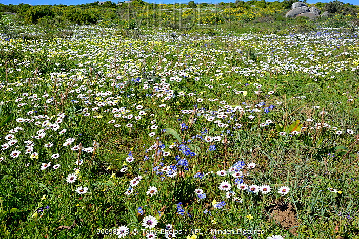 Cape rain daisies (Dimorphotheca pluvialis) flowering, Postberg, West Coast, Western Cape, South Africa, August  -  Tony Phelps/ npl