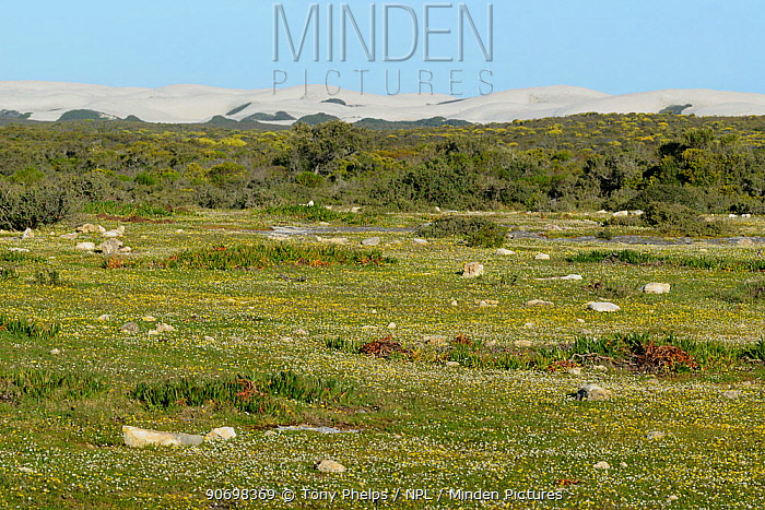 Early spring flowers and sand dunes, Dehoop Nature Reserve, Western Cape, South Africa, August  -  Tony Phelps/ npl