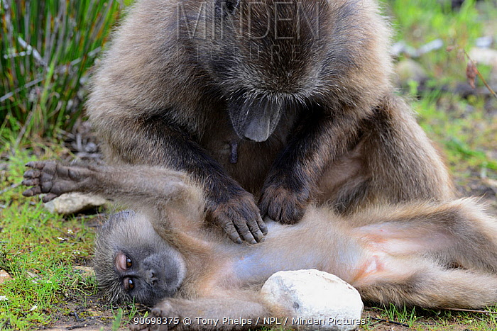 Female Chacma baboon (Papio hamadryas ursinus) grooming young daughter, DeHoop Nature Reserve, Western Cape, South Africa, August  -  Tony Phelps/ npl