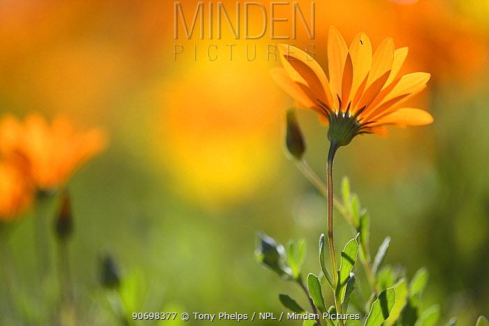 Parachute daisy (Ursinia anthemoides) in flower, Vergalegen, Little Karoo, western Cape, South Africa, July  -  Tony Phelps/ npl