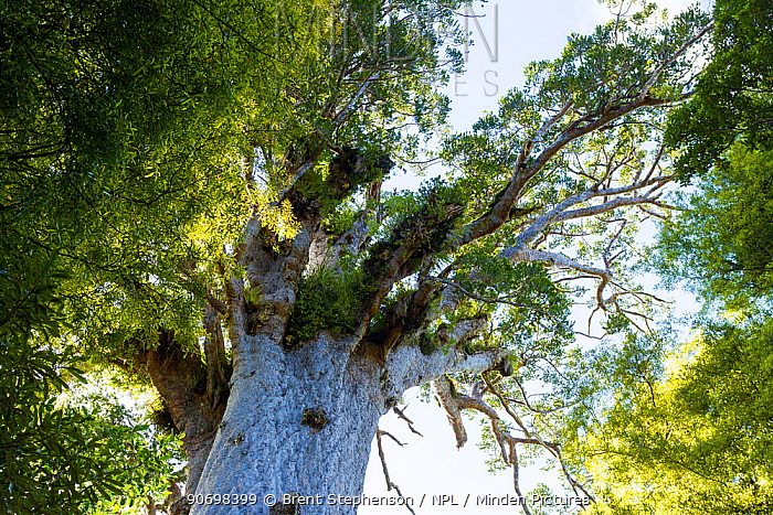 Tane Mahuta, the largest known Kauri tree (Agathis australis) estimated to be between 1,250 and 2,500 years old, Waipoua Forest, Northland Region, New Zealand Endemic  -  Brent Stephenson/ npl
