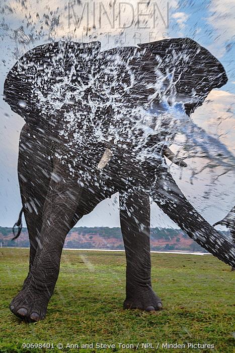 African elephant bull spraying water with his trunk (Loxodonta africana), Chobe National Park, Botswana, Africa  -  Ann & Steve Toon/ npl