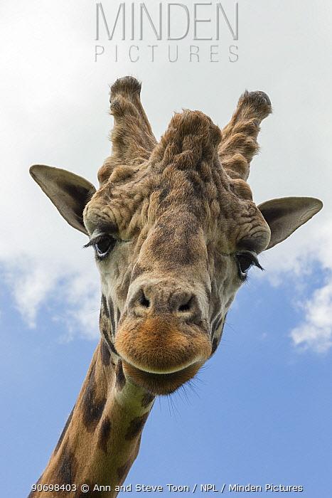 Rothschilds giraffe (Giraffa camelopardalis rothschildi), dominant male named Casper, Woburn Safari Park, UK, June, captive  -  Ann & Steve Toon/ npl