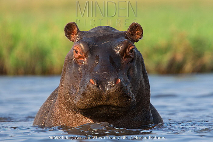 Hippopotamus (Hippopotamus amphibius) in river, Chobe National Park, Botswana, Africa  -  Ann & Steve Toon/ npl