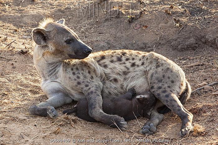Spotted hyena (Crocuta crocuta), suckling pup, Kruger National Park, South Africa  -  Ann & Steve Toon/ npl
