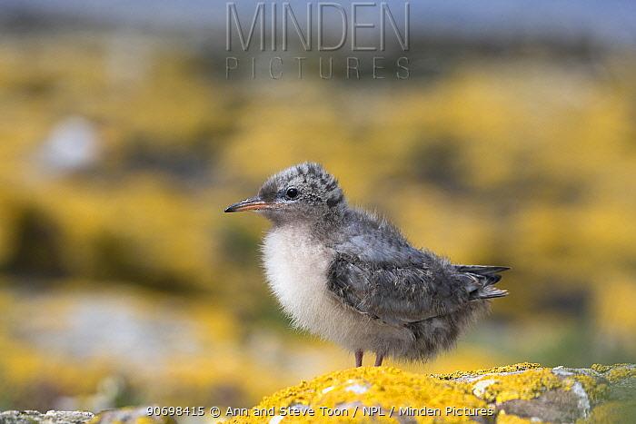 Arctic tern (Sterna paradisaea) chick, Farne Islands, Northumberland coast, UK, July  -  Ann & Steve Toon/ npl