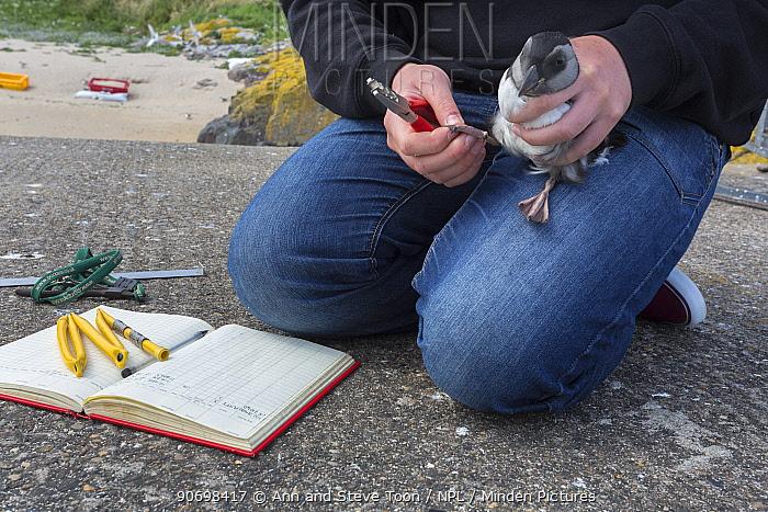 Ringing puffin chick (Fratercula arctica), newly emerged from burrow, Inner Farne, Farne Islands, Northumberland, UK, July  -  Ann & Steve Toon/ npl