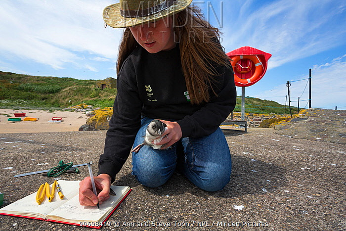 National Trust ranger Laura Shearer recording number of ring just fitted to puffin chick (Fratercula arctica), newly emerged from burrow, Inner Farne, Farne Islands, Northumberland, UK, July  -  Ann & Steve Toon/ npl
