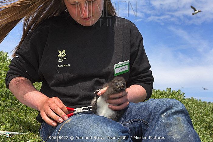 National Trust ranger Laura Shearer ringing puffin chick (Fratercula arctica), Inner Farne, Farne Islands, Northumberland, UK, July  -  Ann & Steve Toon/ npl