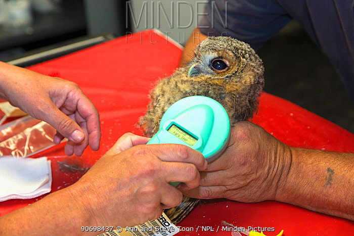 Scanning newly inserted microchip in juvenile tawny owl (Strix aluco) prior to release into wild, Secret World animal sanctuary, Somerset, UK, June  -  Ann & Steve Toon/ npl