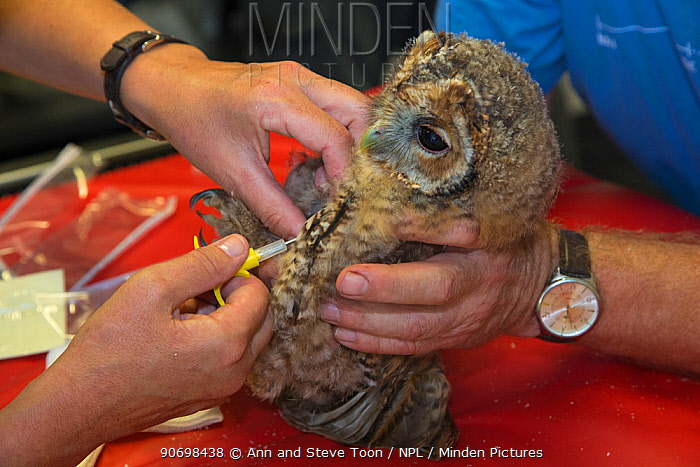 Injecting microchip into juvenile tawny owl (Strix aluco) prior to release into wild, Secret World animal sanctuary, Somerset, UK, June  -  Ann & Steve Toon/ npl