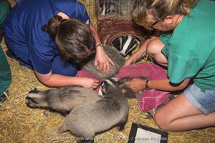 Vet checking badger cubs (Meles meles), Secret World animal sanctuary, Somerset, UK, June  -  Ann & Steve Toon/ npl
