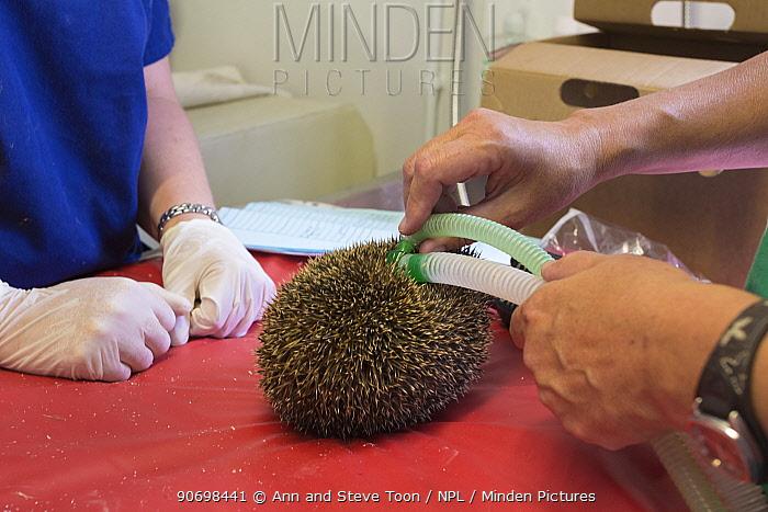 Hedgehog (Erinaceus europaeus) being anaesthetised prior to examination, Secret World animal rescue centre, Somerset, UK, June  -  Ann & Steve Toon/ npl