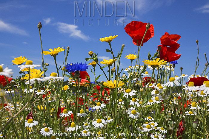 Wildflowers, including poppies (Papaver rhoeas), corn marigold (Glebionis segetum), cornflowers (Centaurea cyanus) and corn chamomile (Anthemis arvensis), being grown for seed by Landlife, Fir Tree Farm, Merseyside, UK, June  -  Ann & Steve Toon/ npl