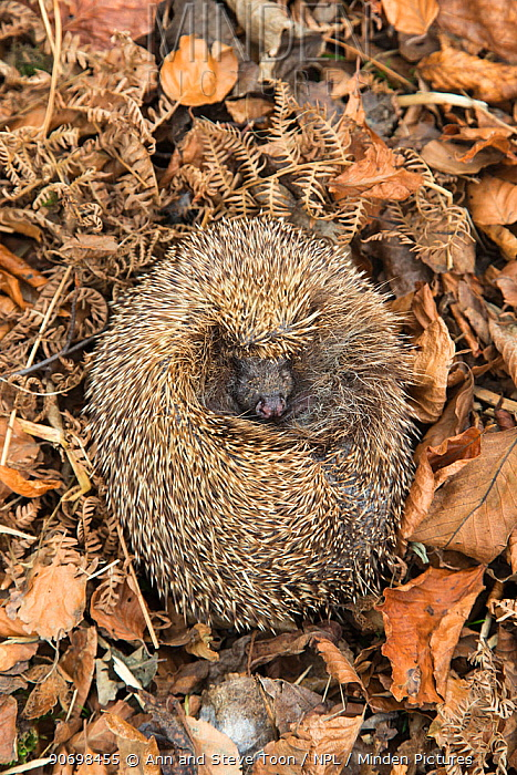 Hedgehog (Erinaceus europaeus) curled up sleeping in autumn leaves, UK, June, captive  -  Ann & Steve Toon/ npl