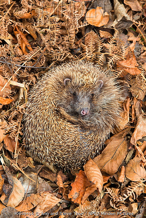 Hedgehog (Erinaceus europaeus ) curled up in autumn leaves, UK, June, captive  -  Ann & Steve Toon/ npl