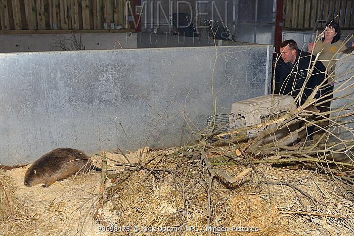Mark Elliott of Devon Wildlife Trust, releasing Eurasian beaver (Castor fiber) from an escaped population into a holding pen Devon, UK, March 2015 Model released  -  Nick Upton/ npl