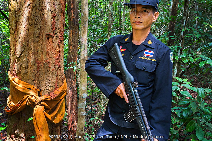 Siam rosewood tree (Dalbergia cochinchinensis) ordained by Buddhist monk, with forest guard, Thap Lan National Park, Dong Phayayen-Khao Yai Forest Complex, eastern Thailand, August, 2014  -  Ann & Steve Toon/ npl
