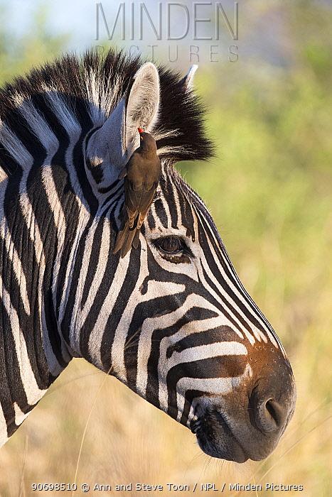 Plains zebra (Equus burchelli) with redbilled oxpecker (Buphagus erythrorhynchus), Kruger National Park, South Africa  -  Ann & Steve Toon/ npl
