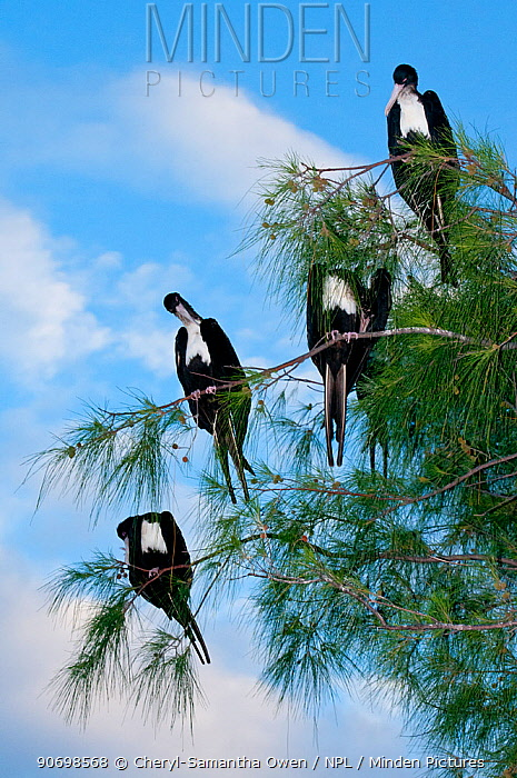Great frigate birds (Fregata minor) sitting in tree, Aldabra Atoll, Seychelles, Indian Ocean