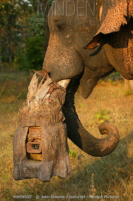 'Tusk cam' camera mounted onto domesticated elephant (Elephas maximus) tusk to film bengal tigers, Pench National Park, Madhya Pradesh, India, taken on location for 'Tiger - Spy in the Jungle' December 2006