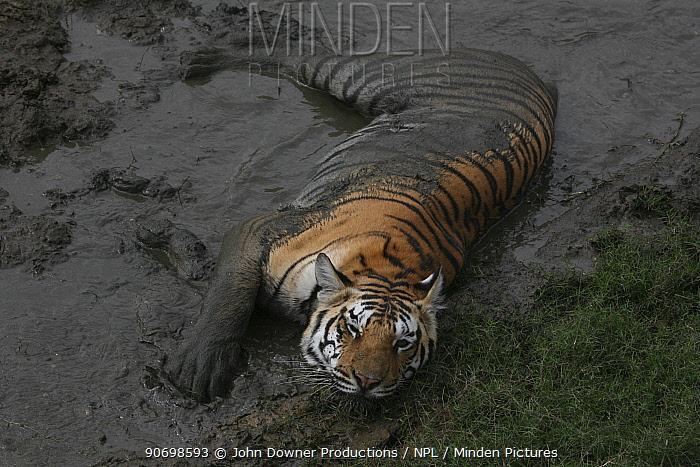 Bengal Tiger (Panthera tigris tigris) juvenile female taking mud bath, Pench National Park, Madhya Pradesh, India, taken on location for 'Tiger - Spy in the Jungle' 2007