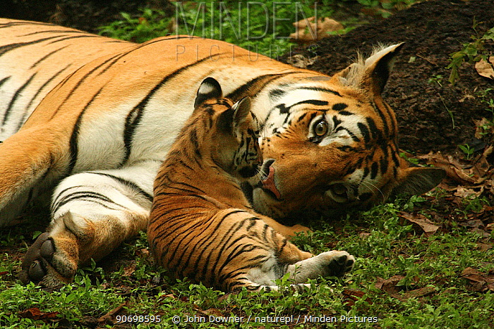 Bengal Tiger (Panthera tigris tigris) mother and cub, Pench National Park, Madhya Pradesh, India, taken on location for 'Tiger - Spy in the Jungle'