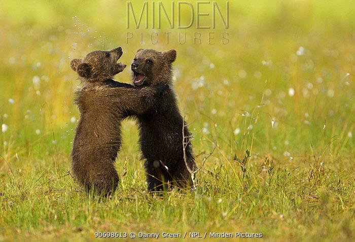 Brown Bear (Ursus arctos) cubs play fighting. Finland, July.